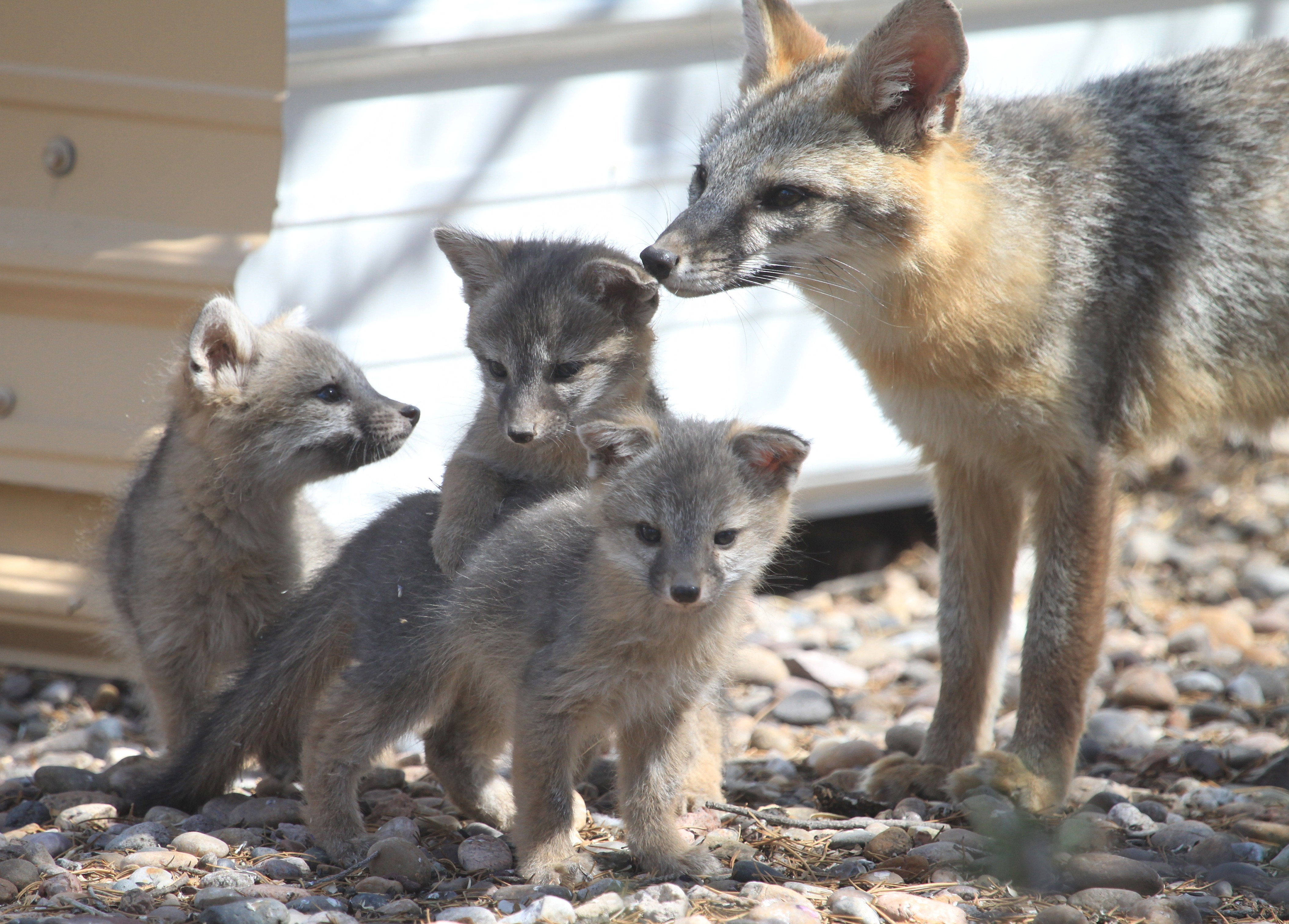 Baby gray foxes - photo#9