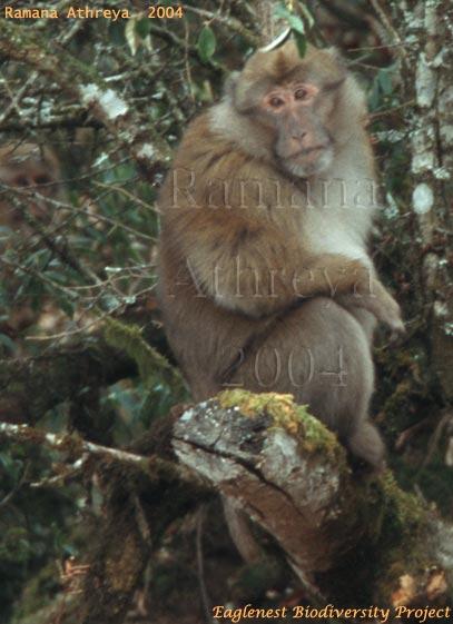 http://www.aoc.nrao.edu/~sbhatnag/Nature/warunachal/Images/Mammals/rma_macaqueJang.jpg
