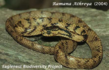 Assam Snaileater